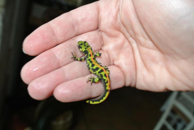 Une salamandre dans notre jardin