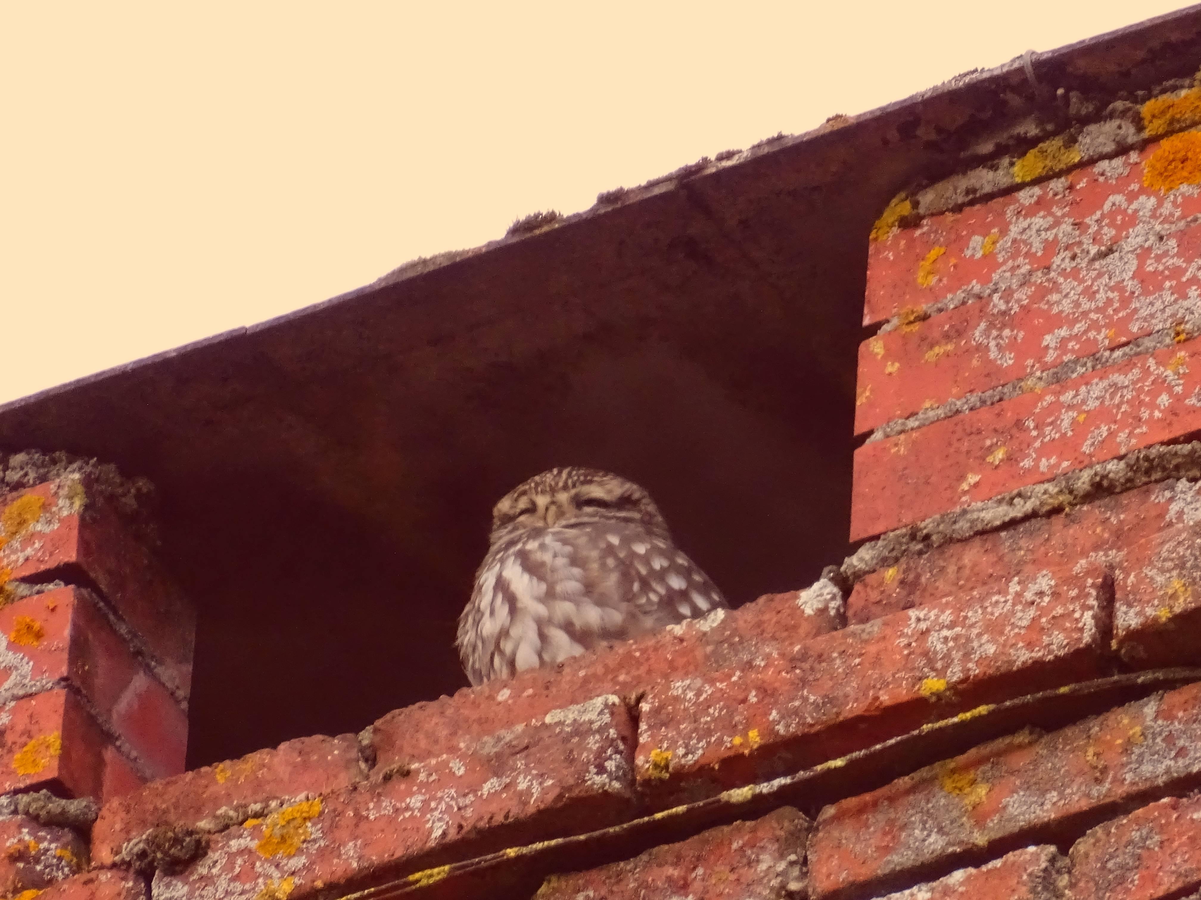 Une chouette nichant dans notre cheminée