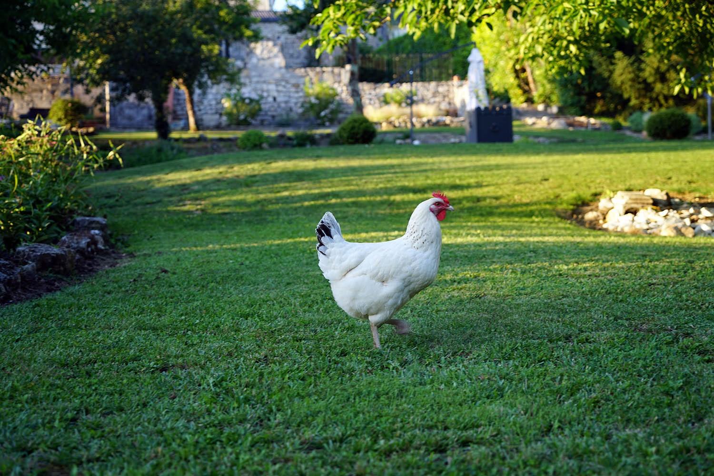 Notre poule